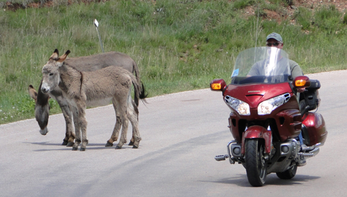Donkeys and GoldWing on road