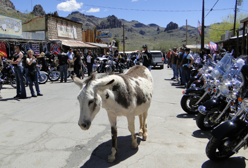 Burro on the street in Oatman with motorcycles