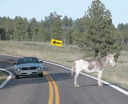 burro in the road